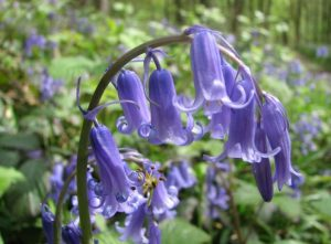 English Bluebell